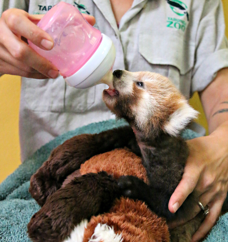 Red Panda Cub 7_Photo by Paul Fahy