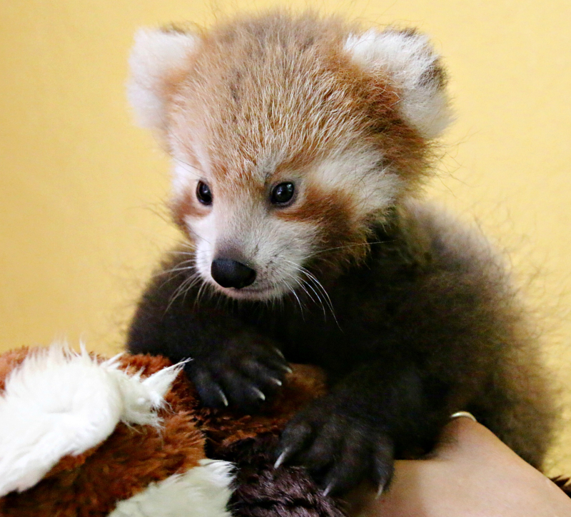 Red Panda Cub 8_Photo by Paul Fahy