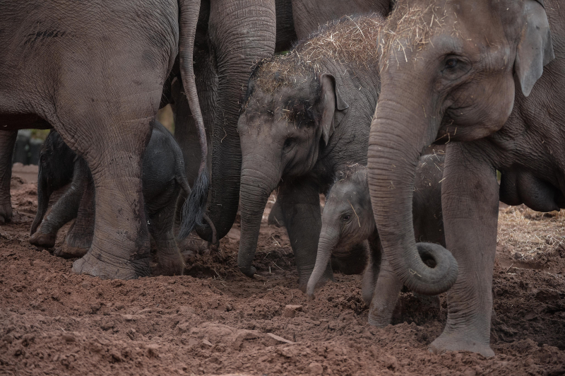 It's a boy! Second rare Asian elephant born in a month sparks joy at Chester Zoo (13)