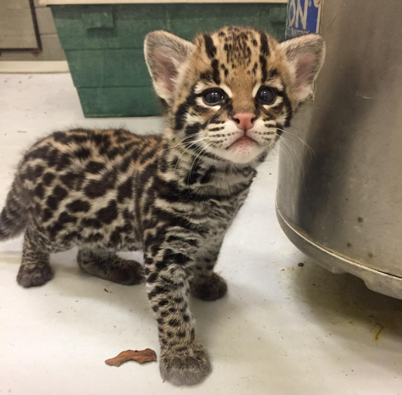 ocelot kitten starts the new week with a new name zooborns