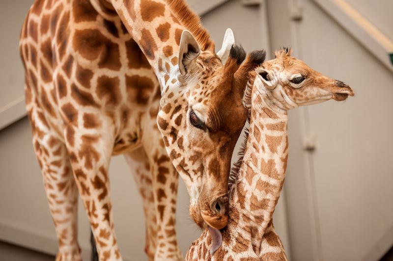 3_fotolink-girafs-5