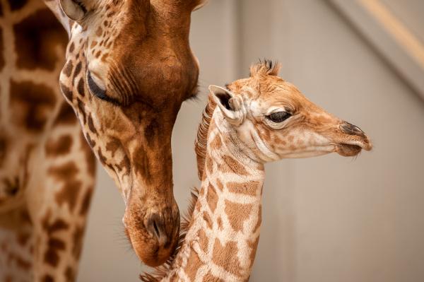 New Giraffe Calf Is A Momma S Boy Zooborns