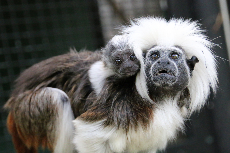 1_Tamarin Baby 1_Photo by Paul Fahy