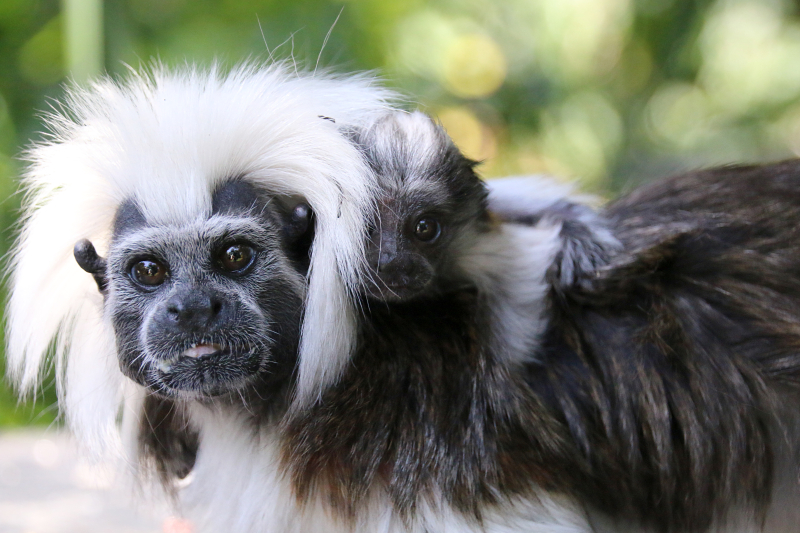 2_Tamarin Baby 2_Photo by Paul Fahy
