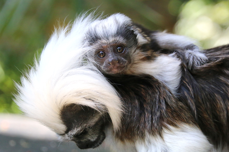 3_Tamarin Baby 5_Photo by Paul Fahy