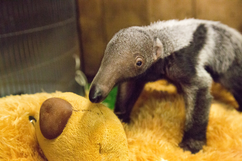 3_Beanie - baby giant anteater (c) ZSL London Zoo (3)