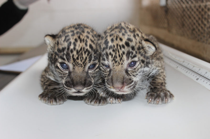 1_Elmwood Park Zoo - Jaguar Cubs