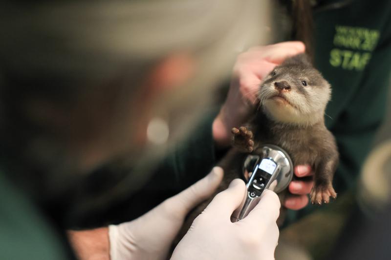 Woodland Park Zoo's Otter Pups Pass First Vet Exam