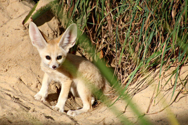 Fennec Fox Kit 6_Photo by Paul Fahy