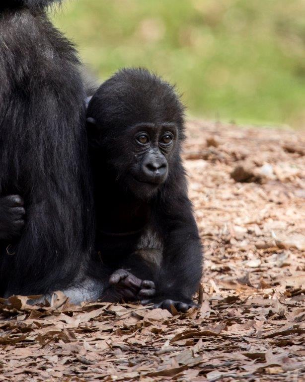 1_Western lowland gorilla infant Mijadala_Zoo Atlanta_2