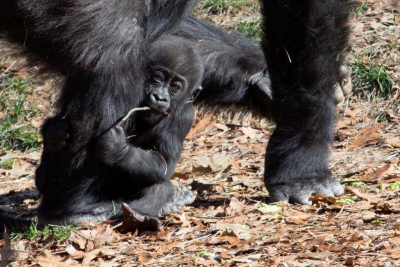 4_Western lowland gorilla infant Mijadala_Zoo Atlanta