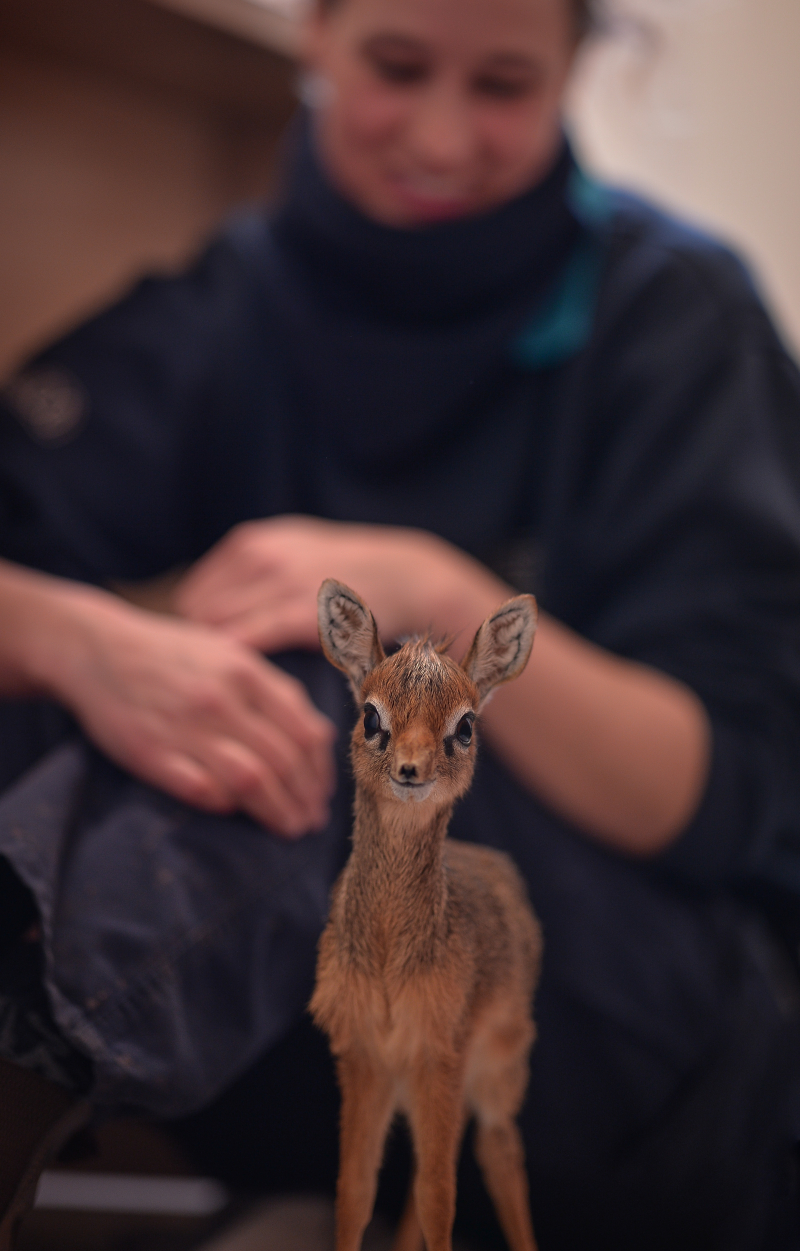 Keepers step in to hand-rear orphaned baby dik dik antelope at Chester Zoo (1)