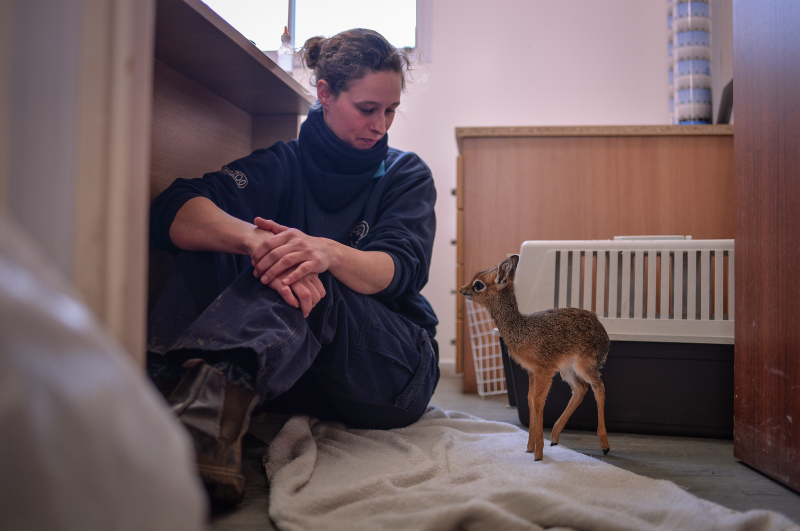 Keepers step in to hand-rear orphaned baby dik dik antelope at Chester Zoo (4)