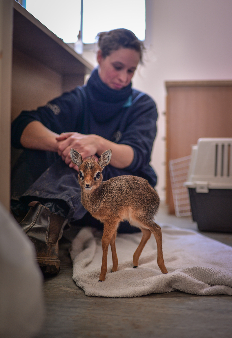 Keepers step in to hand-rear orphaned baby dik dik antelope at Chester Zoo (5)