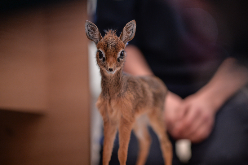 Keepers step in to hand-rear orphaned baby dik dik antelope at Chester Zoo (9)