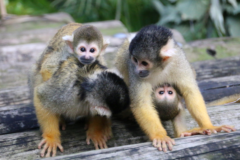 2_Squirrel Monkeys 18_Photo by Paul Fahy