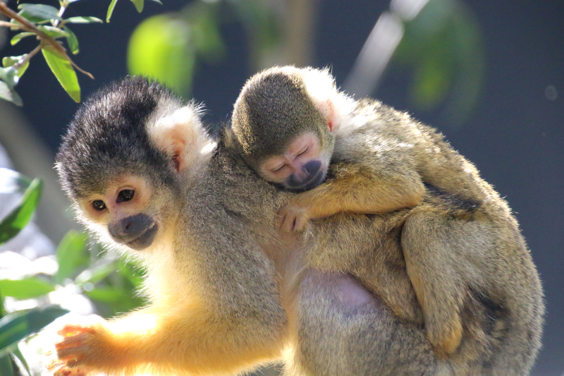 4_Squirrel Monkeys 12_Photo by Paul Fahy