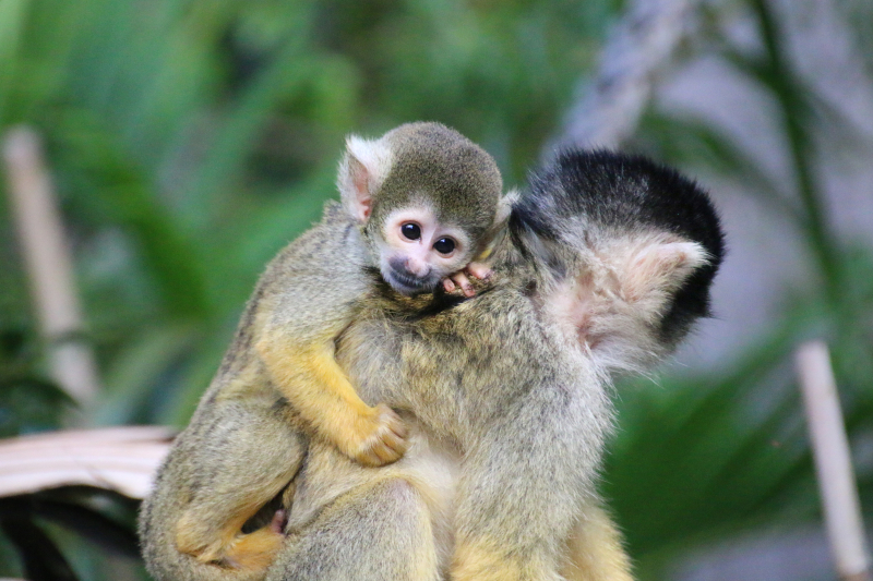 8_Squirrel Monkeys 16_Photo by Paul Fahy