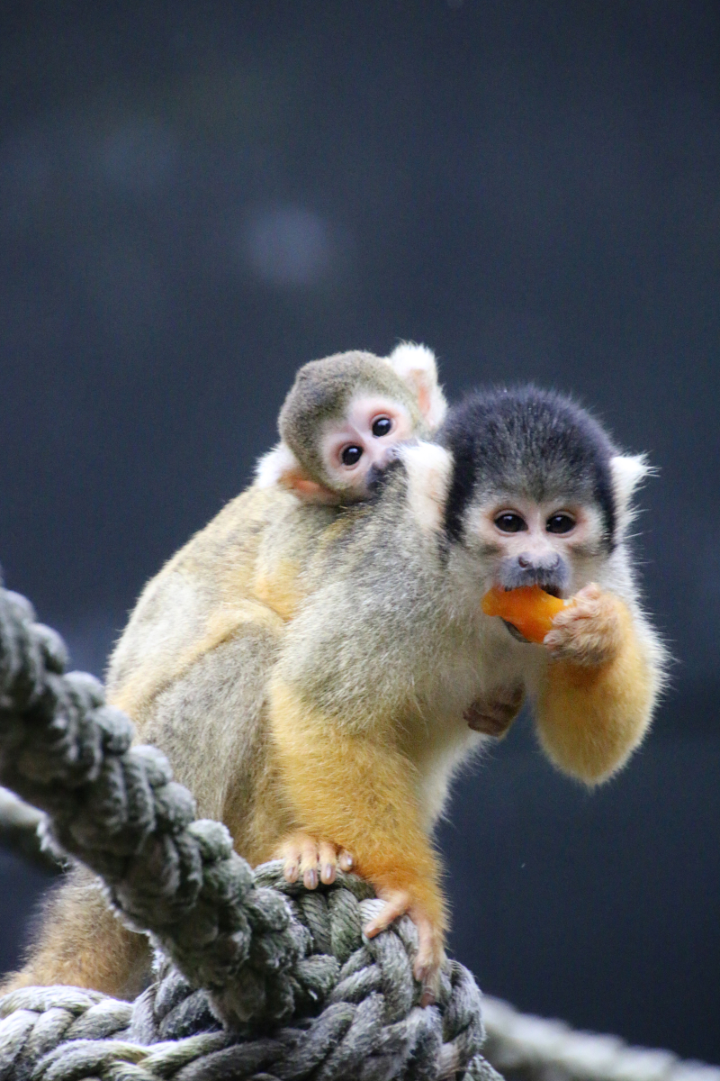 13_Squirrel Monkeys 8_Photo by Paul Fahy