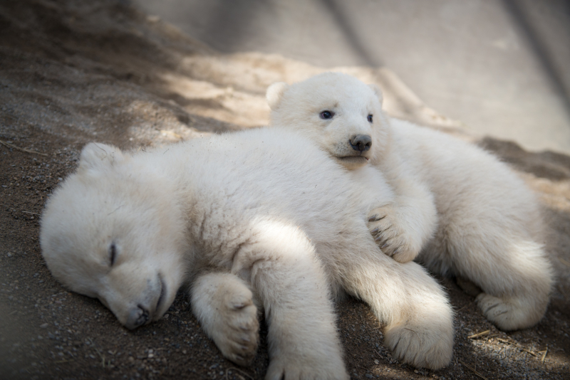 2_Aurora's Polar Bear Cubs 6173 - Grahm S. Jones, Columbus Zoo and Aquarium