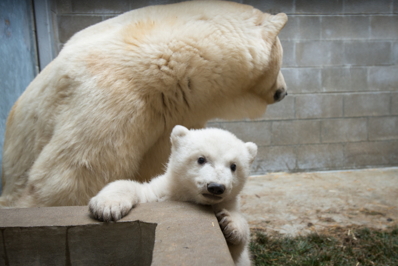 4_Anana's_Polar Bear Cub 5545 - Grahm S. Jones, Columbus Zoo and Aquarium