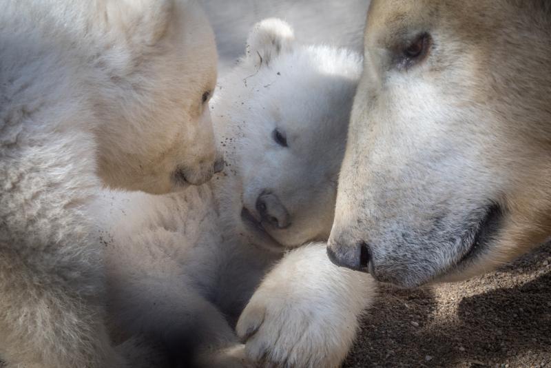 9_Aurora's Polar Bear Cubs 8106 - Grahm S. Jones, Columbus Zoo and Aquarium