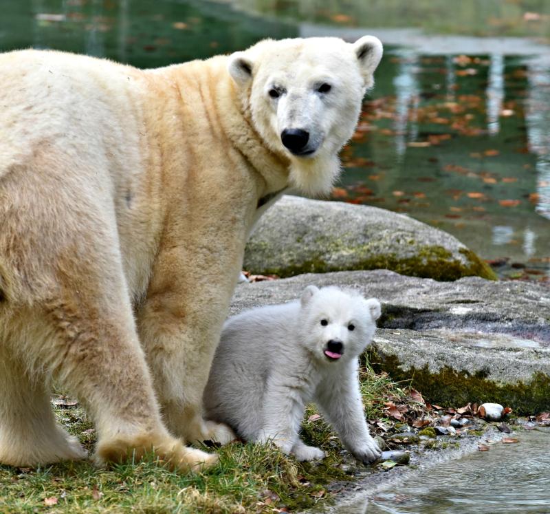 Eisbaerenbaby_TierparkHellabrunn_2017_JoergKoch_62