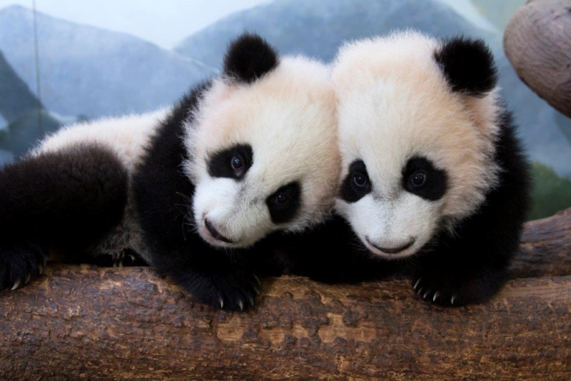 Ya Lun and Xi Lun_Zoo Atlanta 3
