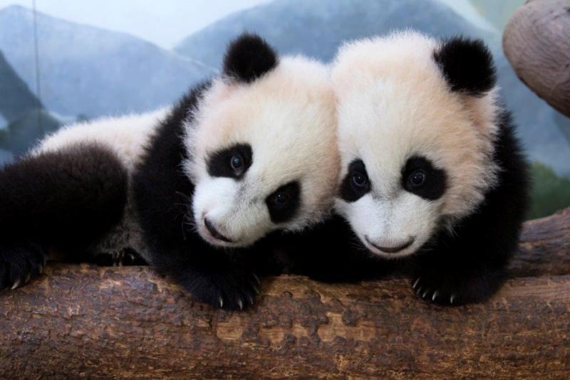 Ya Lun and Xi Lun_Zoo Atlanta 3