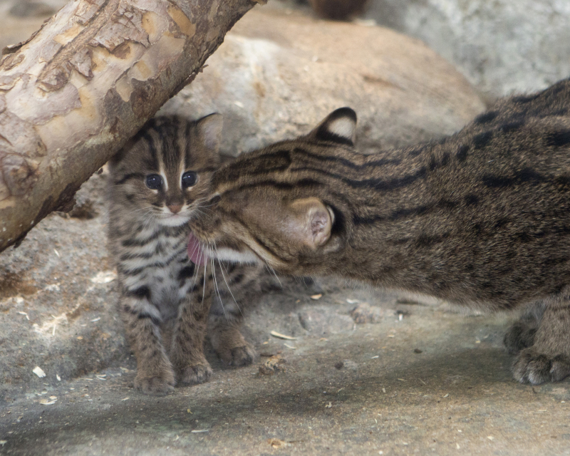 4_baby_fishing_cat_02