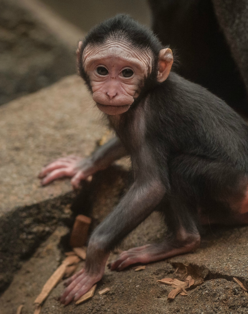 Baby Sulawesi macaque Amidala born to mum Lisa at Chester Zoo (5)