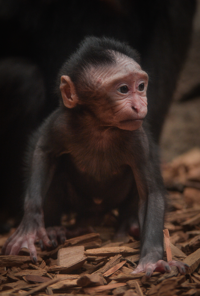 Baby Sulawesi macaque Amidala born to mum Lisa at Chester Zoo (9)