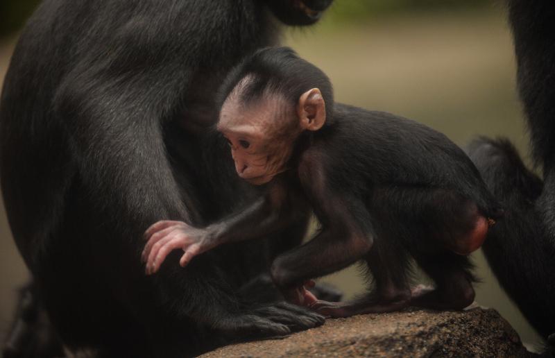 Baby Sulawesi macaque Amidala born to mum Lisa at Chester Zoo (6)