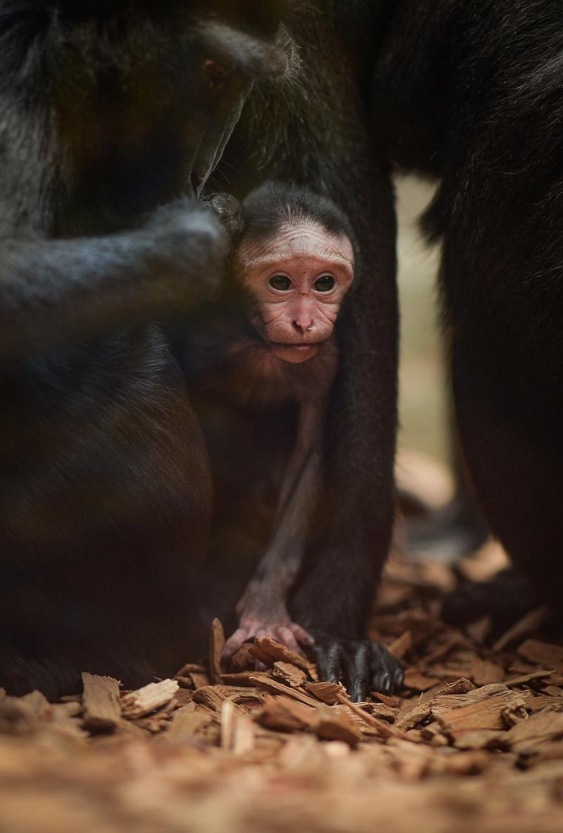 Baby Sulawesi macaque Amidala born to mum Lisa at Chester Zoo (10)