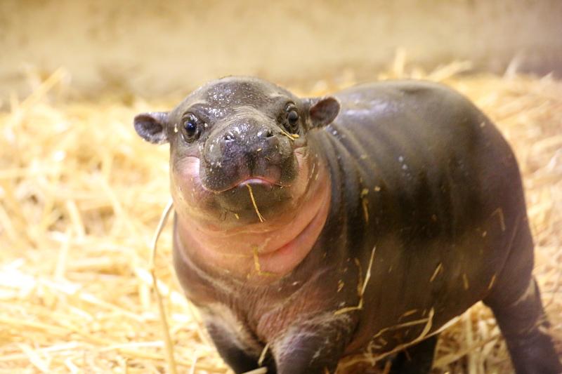 1_Pygmy Hippo Calf 1_Photo by Paul Fahy