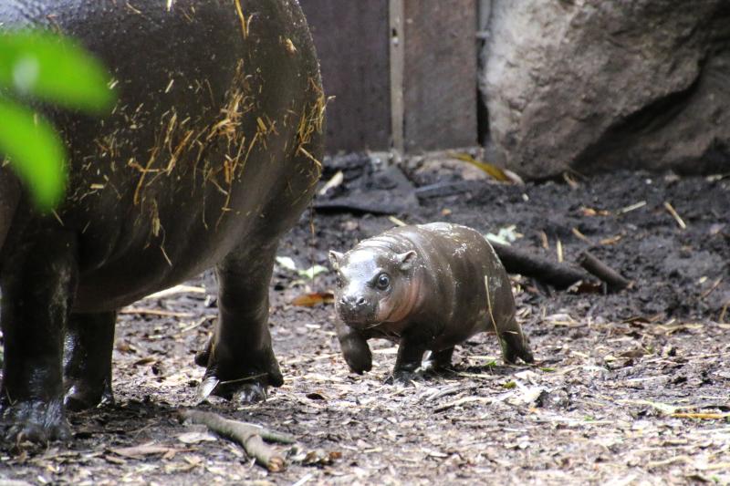 5_Pygmy Hippo Calf 2_Photo by Paul Fahy
