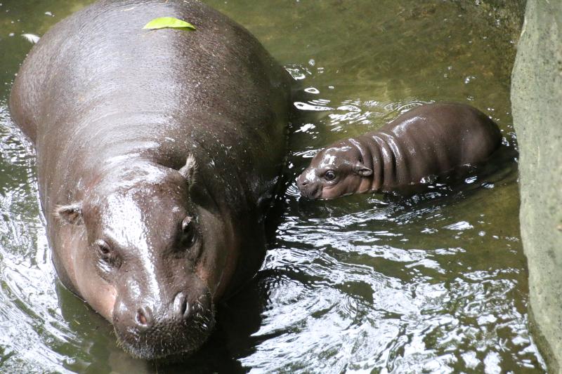 8_Pygmy Hippo Calf 17_Photo by Paul Fahy