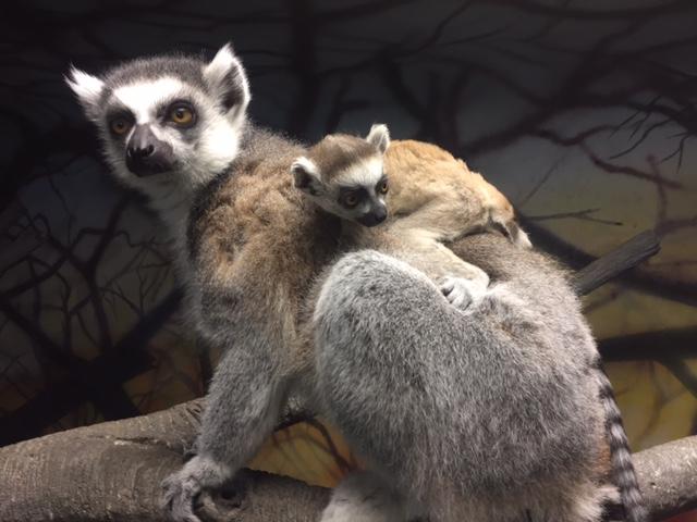 2_Lemur female Jyn with mom E