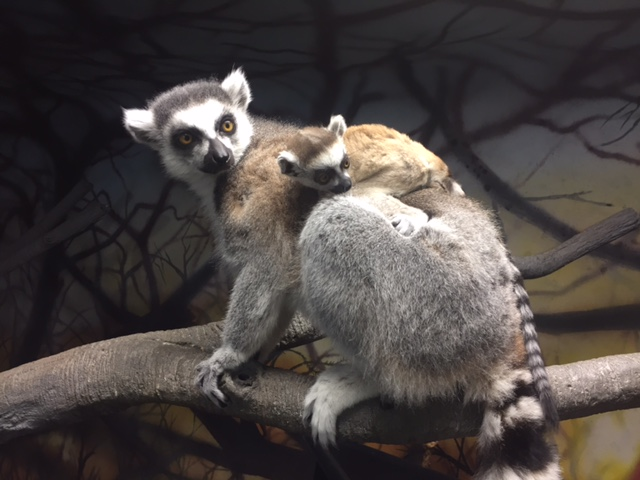 3_Lemur female Jyn with mom D