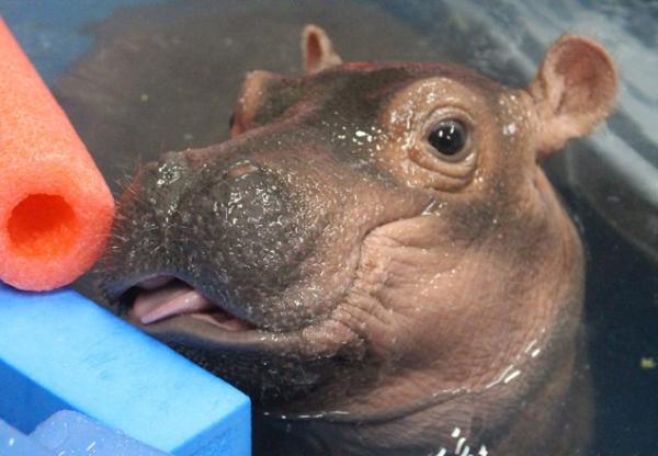 Fiona The Preemie Hippo Tops 100 Pounds Zooborns