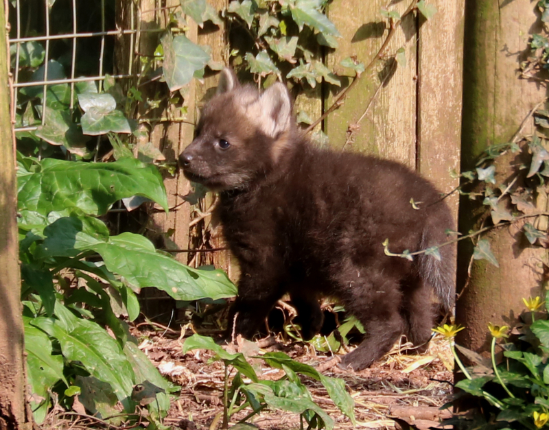 1_2017 03 PZ maned wolf pup 2