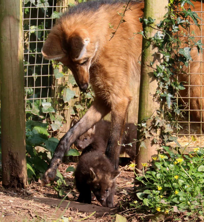 3_2017 03 PZ maned wolf pup 1