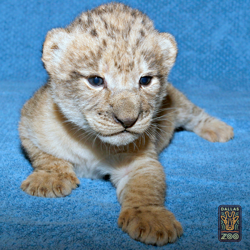 _MG_3118-Lion cub w-logo