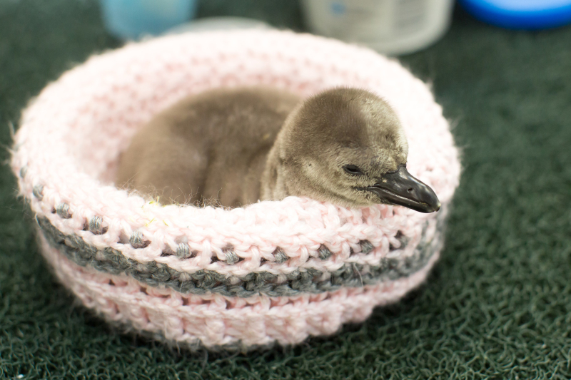1_RS32573_2017_03_23 penguin chick #60-1-phi (1)