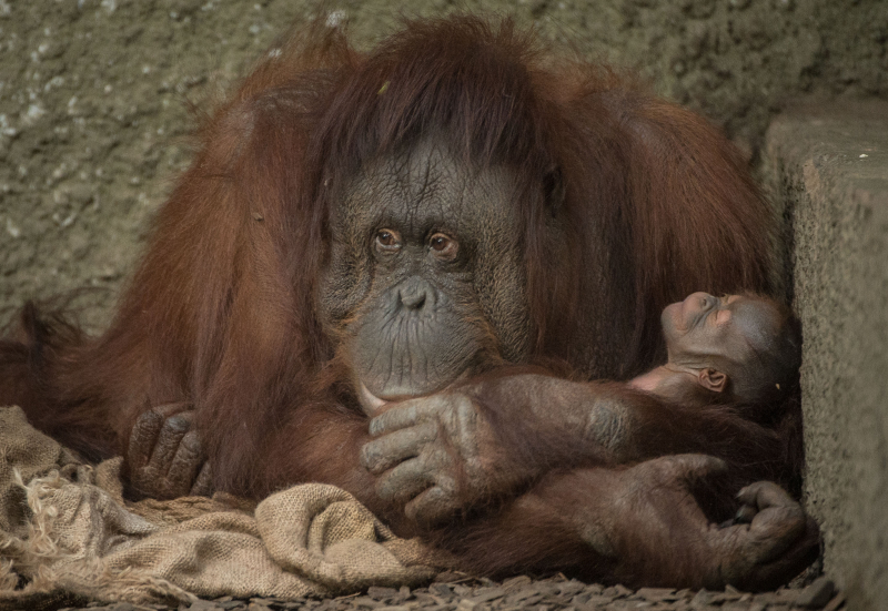 2_First Bornean orangutan born in almost a decade at Chester Zoo (8)