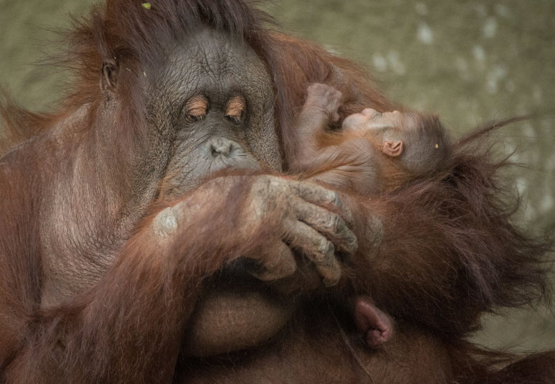 3_First Bornean orangutan born in almost a decade at Chester Zoo (12)