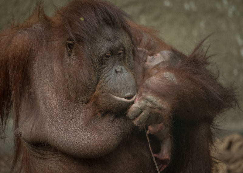 4_First Bornean orangutan born in almost a decade at Chester Zoo (11)