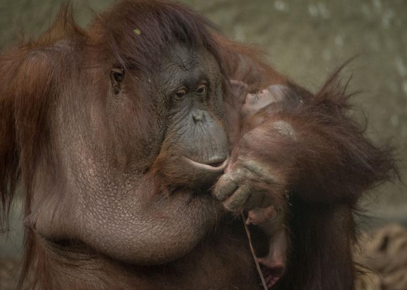 4_First Bornean orangutan born in almost a decade at Chester Zoo (11)