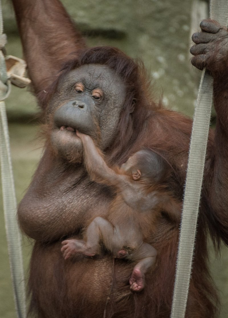 10_First Bornean orangutan born in almost a decade at Chester Zoo (4)