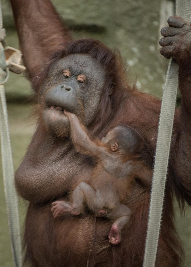 10_First Bornean orangutan born in almost a decade at Chester Zoo (4)